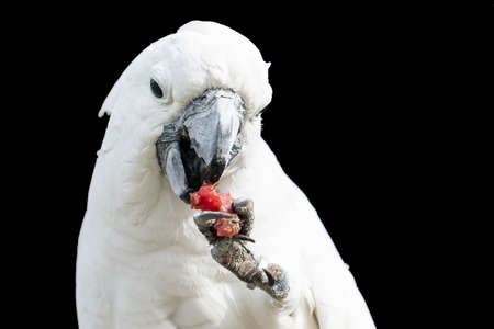 White Cockatoo eating some fruit from its foot while sitting on a tree branch Stock Photo