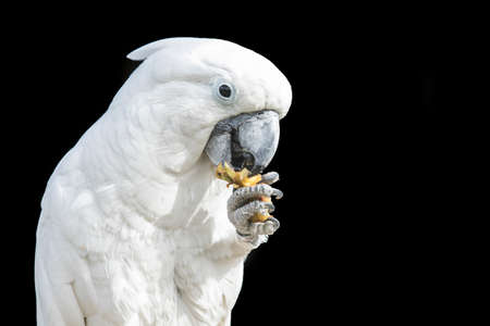 Cockatoo parrot sitting and eating some fruit from its foot while sitting on a branch