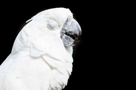 Cockatoo parrot portrait with its eyes closed while sitting on a branch