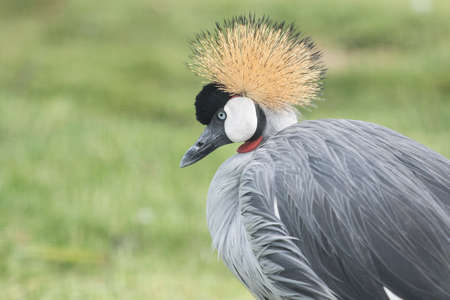 lovely crowned crane portrait while standing and enjoying some warm sunshine Stock Photo