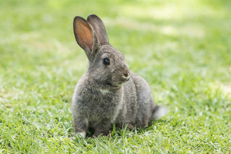 Alert fluffy brown rabbit sitting on a green lawn looking around Stock Photo - 92760970