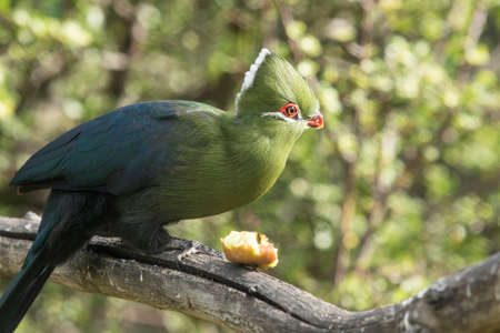 Knysna loerie or Turaco sitting and eating some fruit on a tree branch in late afternoon sun Stock Photo