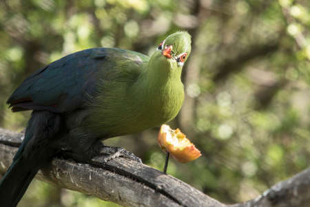 Knysna Loerie looks up while eating some fruit from a tree branch