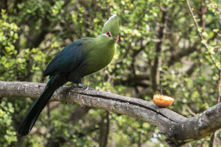 Knysna loerie moves closer to some fruit on a tree branch in soft afternoon sunlight