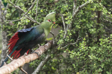Knysna loerie stretches its wings to show how beautiful its under wing is with red and blue coloured feathers