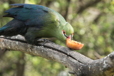 Knysna Loerie takes a bite out of a piece of fruit while sitting on a tree branch