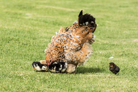 Mother hen puts its head down toward her young chicks while walking freely on soft green lush grass
