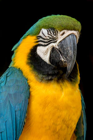 portrait of a black or blue throated macaw parrot bird with its eyes closedon a black background Stock Photo
