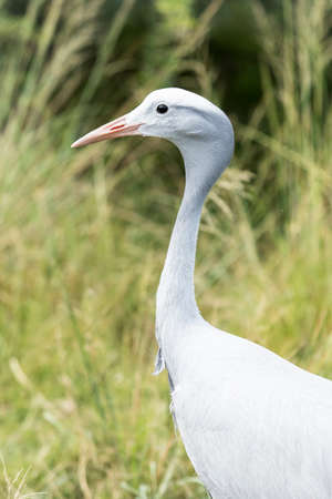 side view of a blue crane with tall thick grass in the background Stock Photo - 92759478
