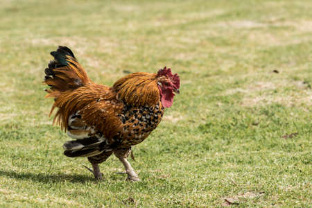 single or alone rooster walking through a farmyard on lush green grass Stock Photo