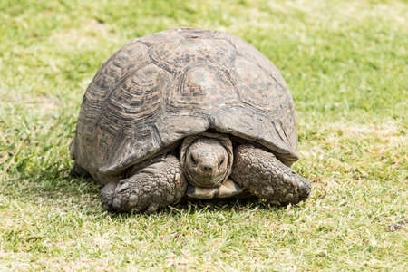 tortoise with damage to its shell walks on green grass looking for food Stock Photo