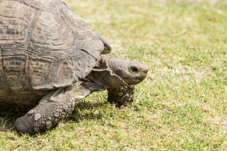 large tortoise walking with a closeup view of its neck extended out of its shell