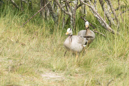 Two bar- headed geese walking through long grass up a sloped path