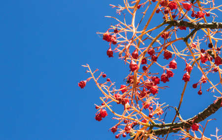 Red berries and flowers of an Australian flame tree against a blue sky  Stock Photo