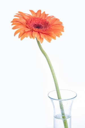 Orange Gerber flower in a glass vase on white