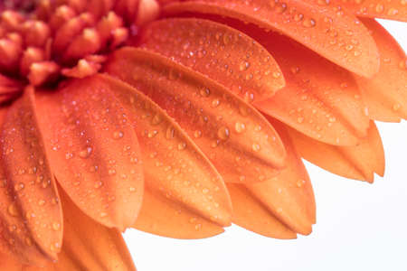 Shallow depth of field of a orange Gerber flower isolated on a white background