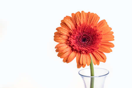 Single Gerber orange flower in a vase isolated on a white background Stock Photo