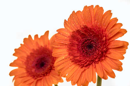 Gerber flowers in an orange colour isolated on a white background Stock Photo