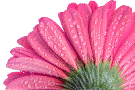 Underside of a pink Gerber flower with water droplets isolated on white Stock Photo