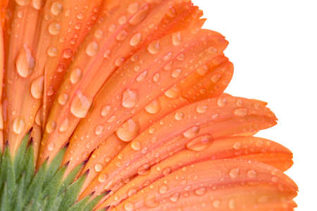 Close up of the under side of a orange Gerber flower isolated on white