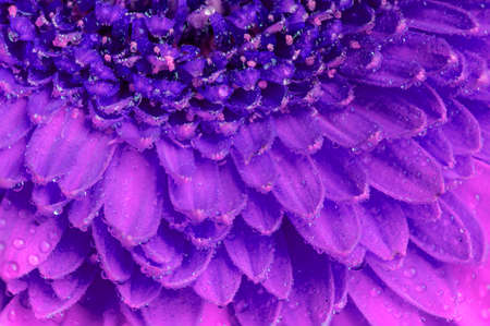 Close up view of the petals of a purple Gerber flower isolated on a white background