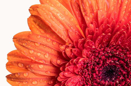 Close up view of an  isolated orange Gerber flower with water droplets on its leaves  Stock Photo
