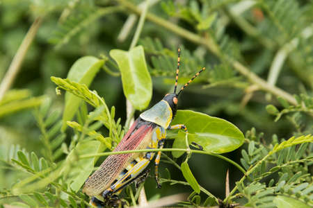 Brightly coloured locust on green leaves on a hot and sticky day