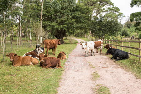 Herd of cattle with some standing and others lying down on a farm road