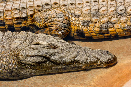 Close up view of Nile Crocodiles lying on the river bank