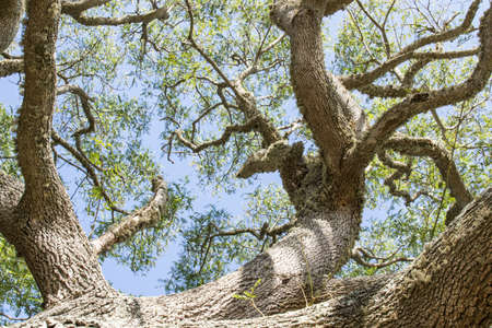 Diagonal photo of looking up a tree trunk towards the canopy of a beautiful tree in bright sunlight Stock Photo