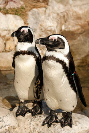 a pair of african black foot penguins looking for warmth in the winter sun  Stock Photo