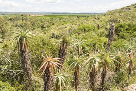 Large plantation of aloe plants growing on the side of a hill on a hot summers day Stock Photo