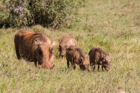 Family of warthogs grazing in dry grass while in a national park in south africa Stock Photo