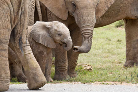 Young African elephant being touched by its family member with its trunk as it walks out from under its legs