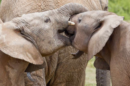 Young elephants playing with their trunks next to their mother in a natio nal park Stock Photo