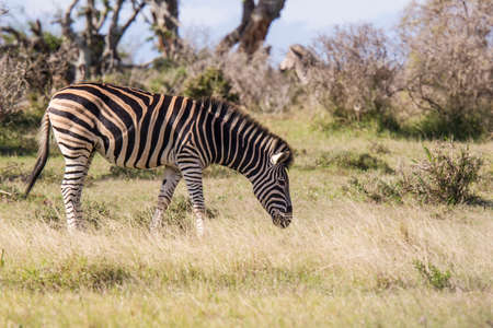 Zebra walking and grazing on long dry grass in a national park in south africa