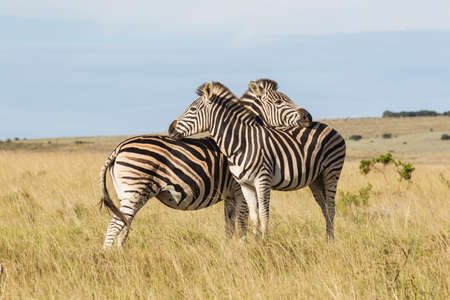 Two zebras standing in dry savannah grassland leaning on each other in a national park in south africa Фото со стока