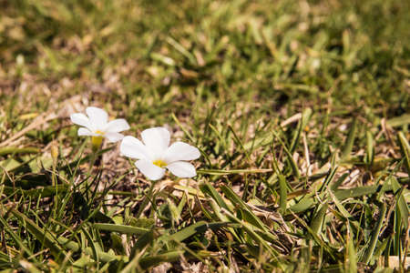Two pretty white flowers of wild grasses in a field in bright sunlight