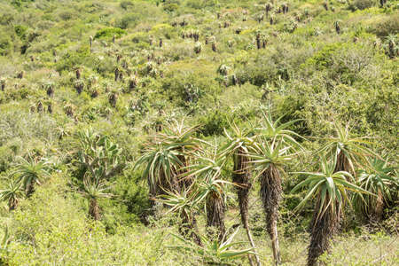 Many Wild Aloe plants on the slope of a mountain or hill in bright hot summer sun