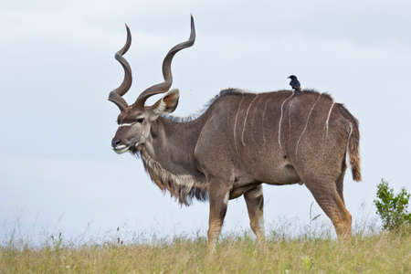 large alert male kudu antelope on a hilltop lifting its head while chewing grass