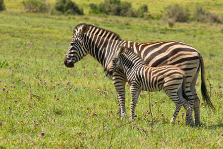 Burchell zebra young standing next to its mom in humid temperature while chewing grass