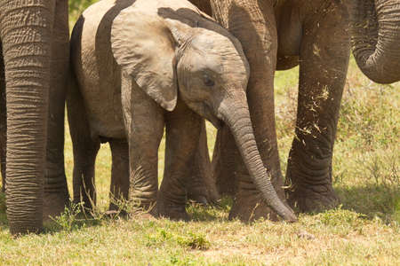 young baby elephant calf standing in moms shadow and protection eating grass Stock Photo