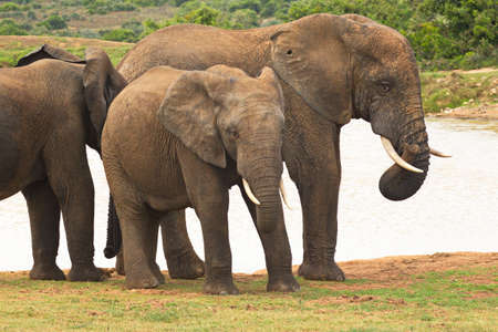 group of elephants standing and socialising at a waterhole on a summers day. Stock Photo