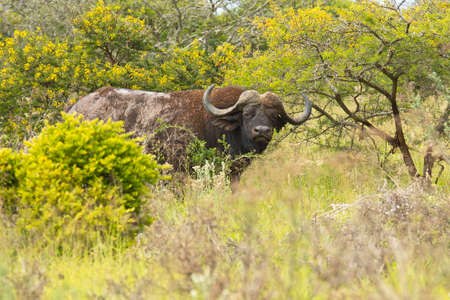 Old large african buffalo standing in long dry grass looking at the camera with an inquisitive and angry expression