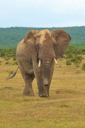 Large African elephant showing signs of aggressiveness on a hot sunny day in Addo elephant park Stock Photo