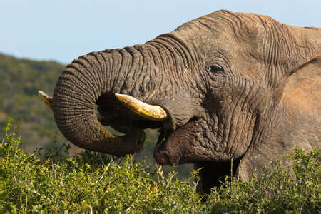 Large male elephant feeding on bushes and shrubs with its long trunk