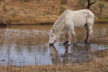 Grand cheval blanc debout dans un étang peu profond et de l'eau potable par temps nuageux.