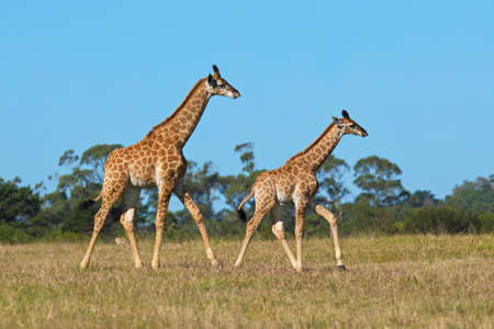 Two giraffe running on short dry grass in the late afternoon sunlight