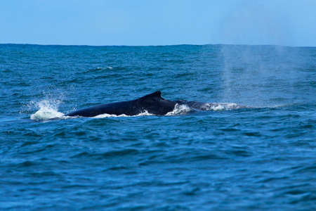 Large humpback whale blows water into spray as it surfaces in Nelson Mandela bay in high seas Stock Photo