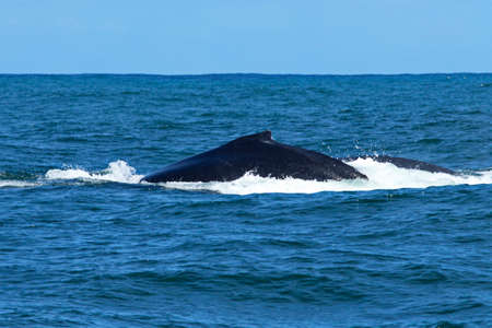 Mother and calf humpback whale surface in nelson Mandela Bay in high rough seas